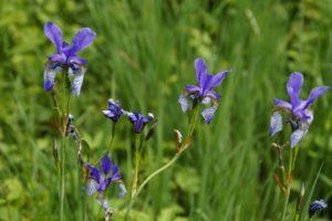 Teichzonen, Sibirische Schwertlilie
