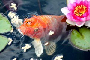 Teichbecken kaufen, Fisch