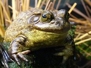Frosch-Gartenteich-Quaken